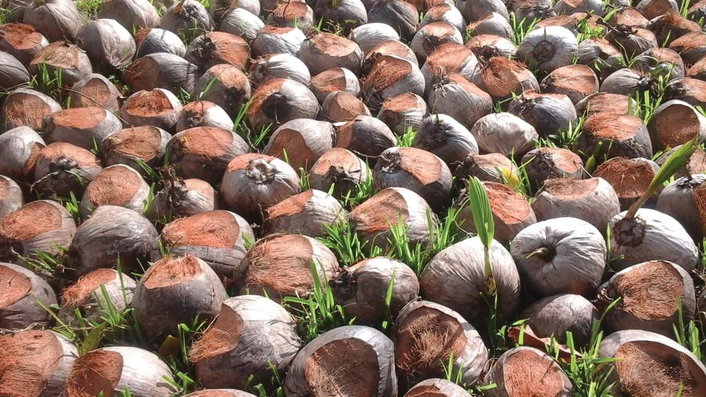 CoconutNursery-ManUrsing-20150707_153952-12jul2015-20150911
