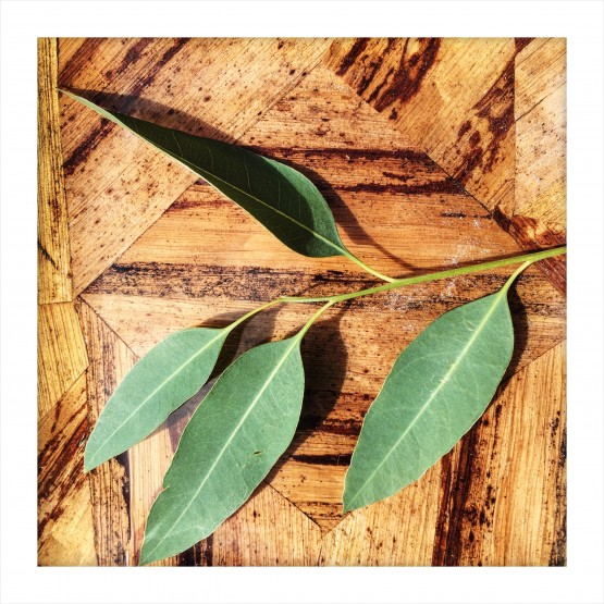 EUCALYPTUS: Allergen or Not An Allergen?